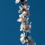 almond-in-blossom-5-992226-m