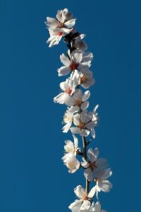 almond-in-blossom-5-992226-m