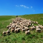 shepherd-with-his-sheep-on-pasture-1400173-m